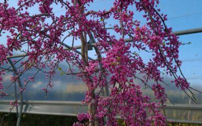 Vente d'arbre à fleurs à Charmes