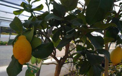Arbres fruitiers près de Bayon